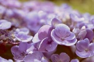 Qué debemos tener en cuenta al momento de trasplantar hortensias - Humedad constante