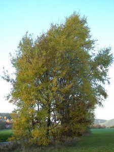 Qué es el Populus Tremula