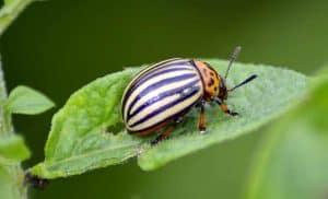 Qué es el escarabajo de la patata
