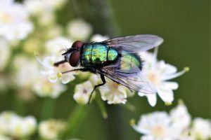 Qué es la mosca de la col