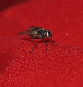Qué es la mosca del mantillo