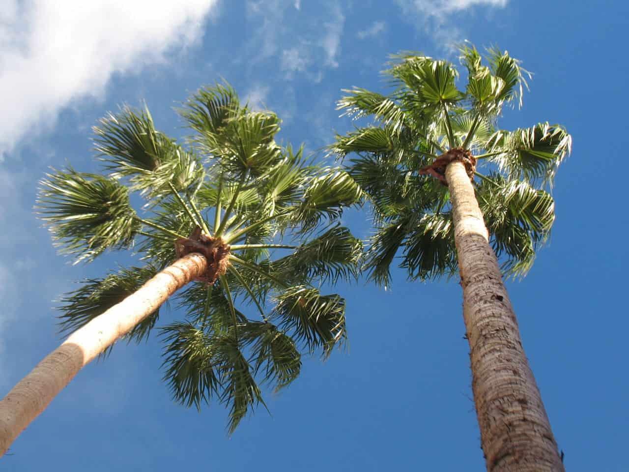 Qué es la palmera washingtonia