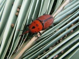 Qué plagas y enfermedades ataca a la palmera washingtonia - Picudo rojo