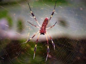 Qué plagas y enfermedades atacan a ladracaena massangeana - Araña roja