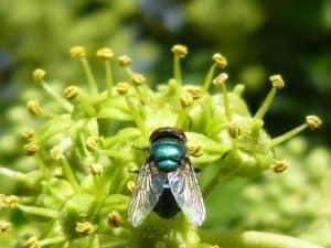 Qué plagas y enfermedades atacan a lazarzaparilla - Pulgón verde