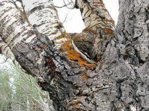 Qué plagas y enfermedades atacan al Populus Tremula