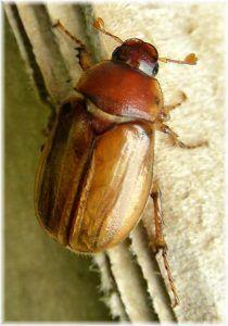 Qué plagas y enfermedades atacanal Thuja orientalis - Barrenillos