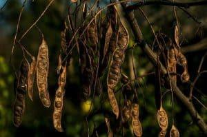 Qué plagas y enfermedades atacan al tamarindo árbol