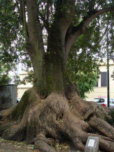 Qué características tiene el árbol bella sombra