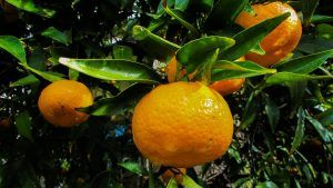 Qué cuidados requiere un mandarino