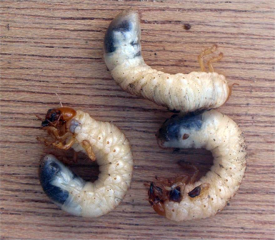 Qué es el gusano blanco del suelo