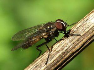 Qué es la mosca de la cebolla