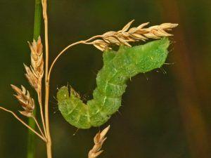 Qué es la plusia o gusano verde