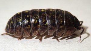 Qué plagas y enfermedades afectan a la monstera