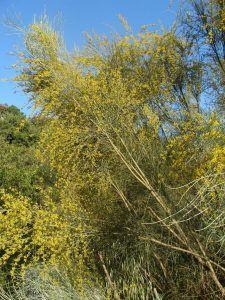 Retama sphaerocarpa arbusto