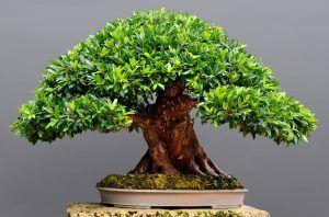 Riego del Bonsái Ficus