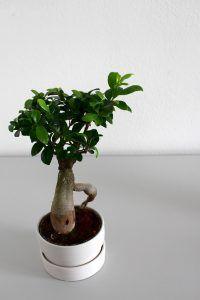 Riego del Ficus en Maceta