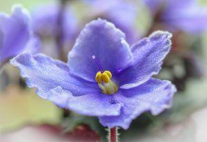 Cómo detectamos exceso de agua en las violetas africanas
