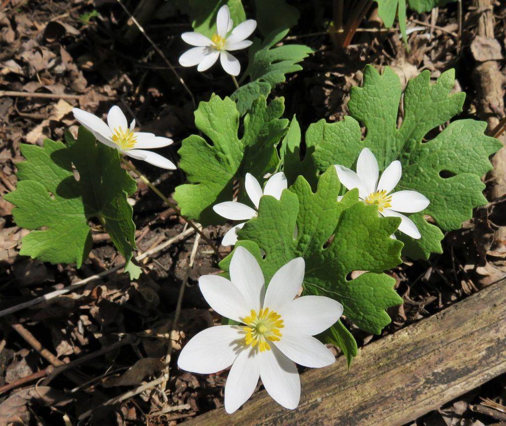Sanguinaria, Canadensis flor de primavera