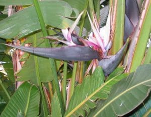 Strelitzia Augusta características