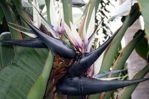 Strelitzia Augusta cultivo y cuidados