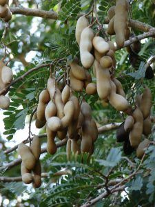 Tamarindo árbol fruto
