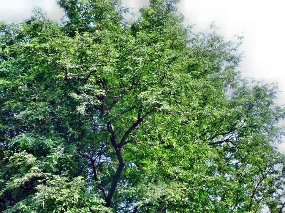 Tamarindo árbol
