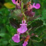 Teucrium planta
