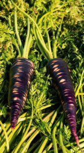 Tipos de zanahorias según su color - Zanahoria morada