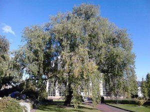 Ulmus Pumila árbol
