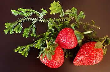 Variedades de Fresas- Candonga