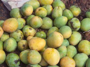 Variedades de Mango - Cultivares Indios y Filipinos