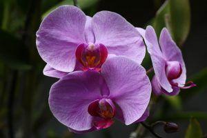 Variedades de Orquídeas - Dendrobium