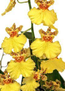 Variedades de Orquídeas - Oncidium