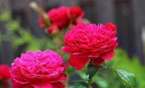 Variedades de rosas - Rosales arbustivos