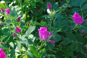 Variedades de rosas - Rosas silvestres