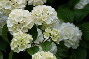 ¿Qué es la Viburnum Opulus?
