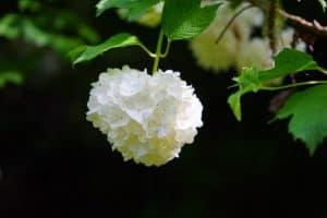 ¿Dónde debemos sembrar la Viburnum Opulus?