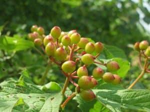 ¿Cuándo se debe cultivar la Viburnum Opulus?
