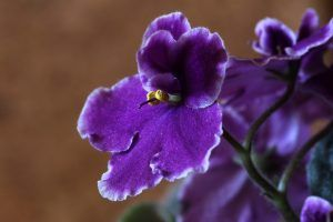 Riego de violetas africanas