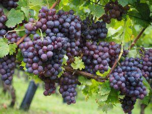 Riego de viñedos