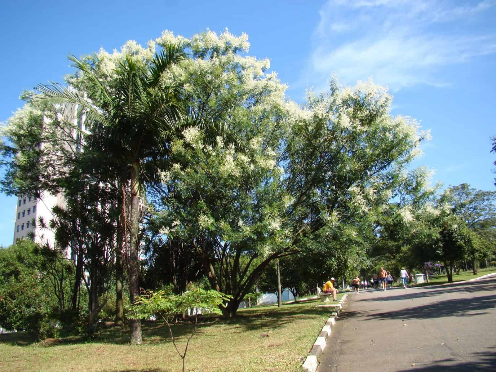 árbol de mimosa