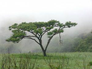 Siembra y cuidados de la Acacia