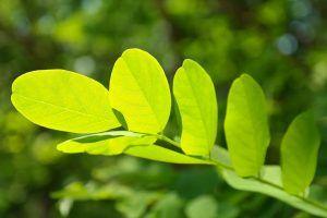 ¿Cómo plantar una Acacia?