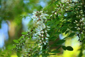 Cuidados del árbol Acacia