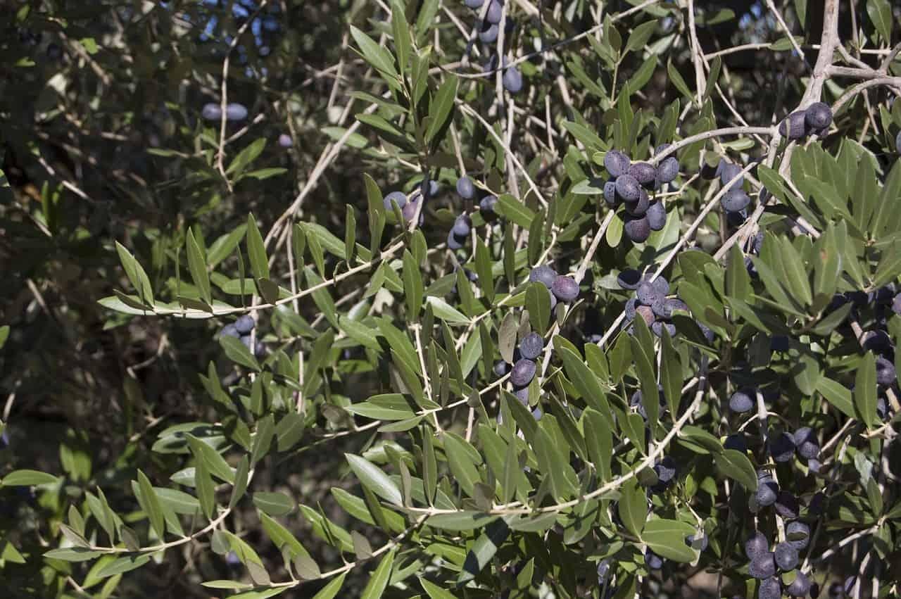 plagas y enfermedades del olivo Aceituna, Jabonosa