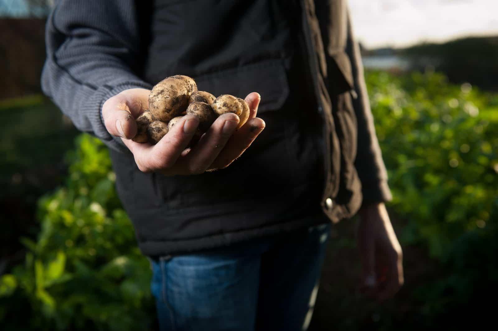 sembrar patatas