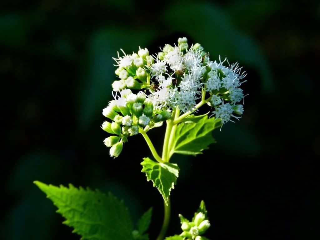 ageratina plantas venenosas