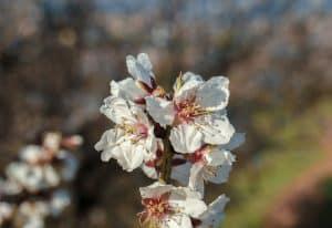 cómo hacer un compuesto de abono para el almendro