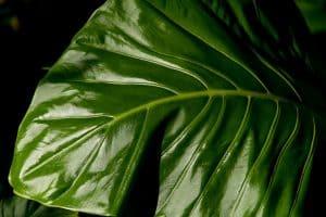 cuidados de la alocasia amazónica